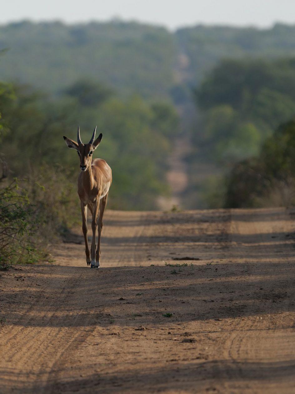 panasonic-lumix-g9-leica-200mm-safari-impala