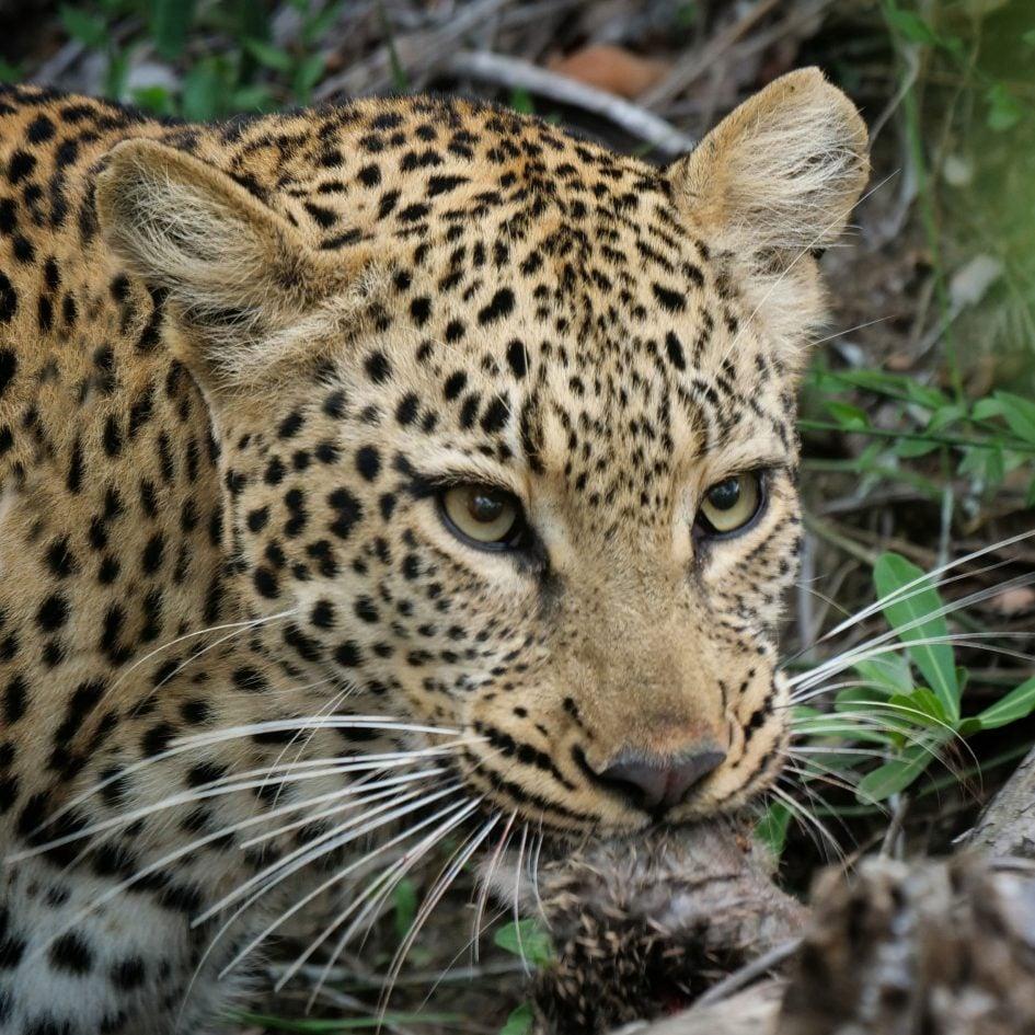 panasonic-lumix-g9-leica-200mm-safari-leopard