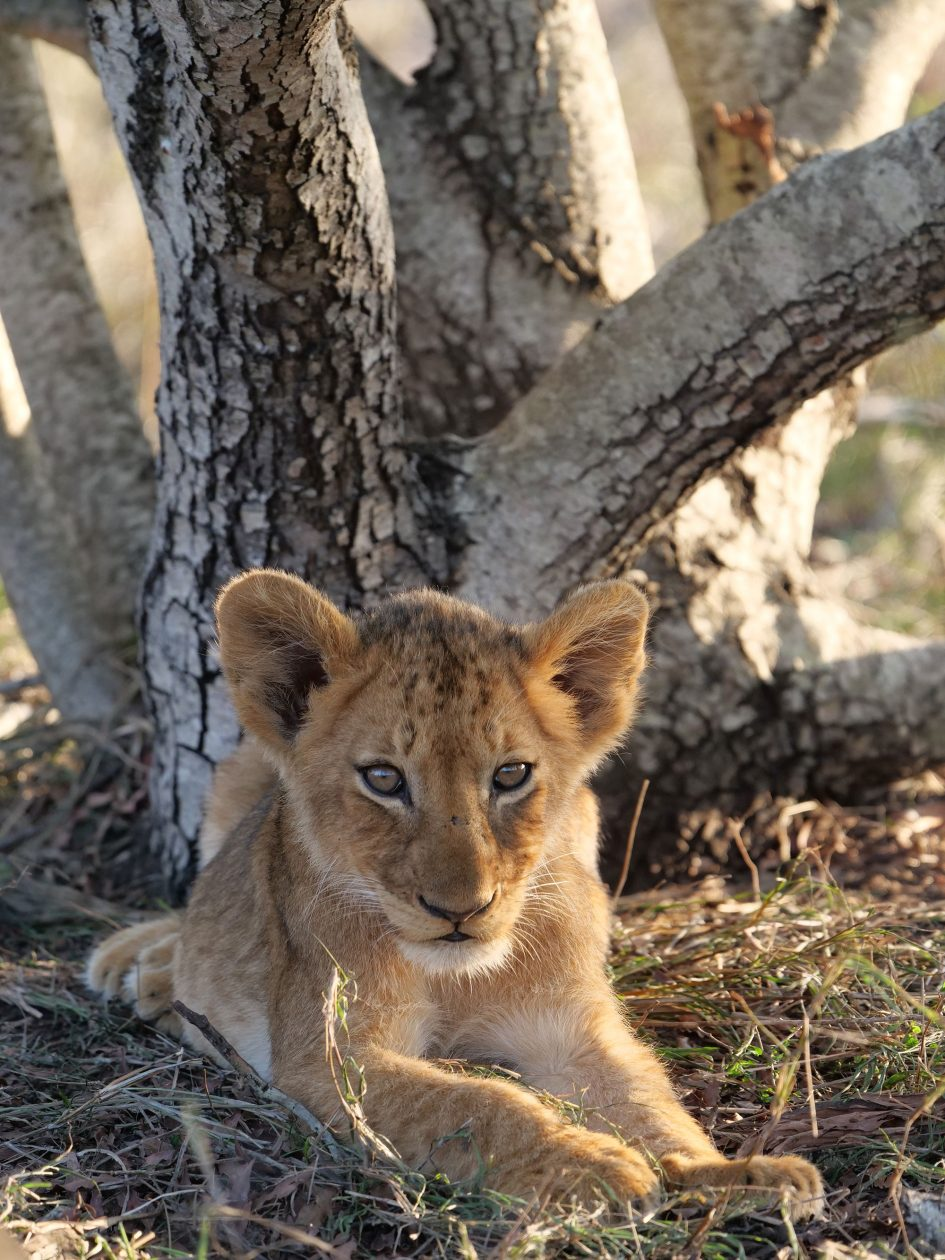 panasonic-lumix-g9-leica-200mm-safari-lion-cub