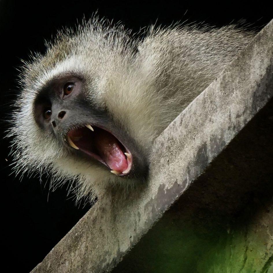 panasonic-lumix-g9-leica-200mm-safari-monkey