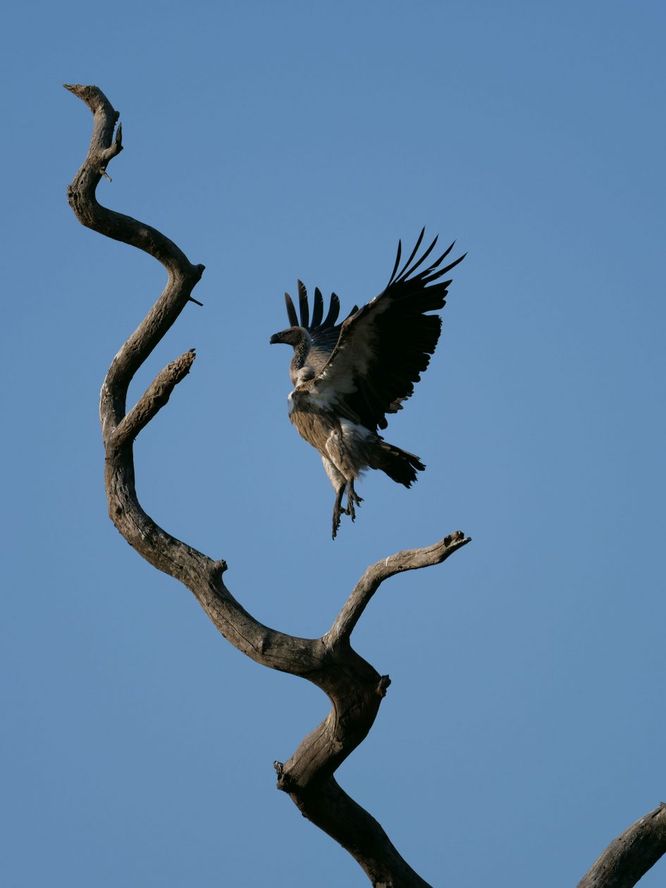 panasonic-lumix-g9-leica-200mm-safari-vulture